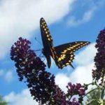 Bed & Breakfast butterfly